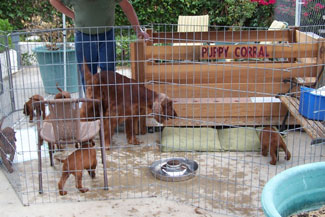 Sarah and Puppies - First time in puppy corral